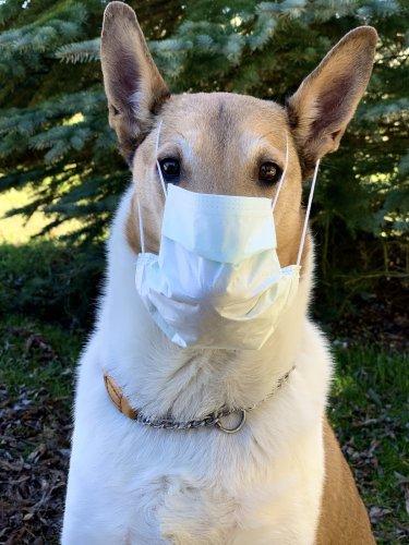 Cody muss auch ins Homeoffice aufgrund dem Coronavirus ins Homeoffice - Safety first!